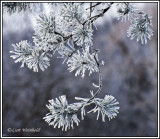 Frosty Red Pine