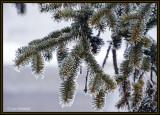Frosty Spruce