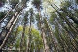 Pine Planting