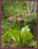 Pink Lady Slipper Orchid 2