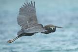 Heron, Great-billed @ Honda Bay