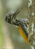 Goldenback, Greater (female) @ Tanjung Piai