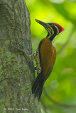 Goldenback, Greater (male) @ Tanjung Piai