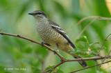 Triller, Varied (female) @ Casuarina Coastal Reserve