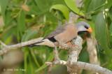 Finch, Long-tailed @ Casuarina Coastal Reserve