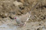 Dove, Diamond @ Mary River Excavation Pits