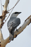 Cuckoo-shrike, White-bellied @ Mary River Excavation Pits