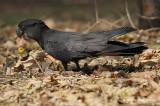 Cockatoo, Red-tailed Black @ Nightcliff