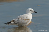 Gull, Silver (juv) @ Nightcliff