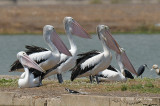 Pelican, Australian @ Leanyer Sewage Works