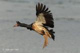 Goose, Magpie @ Mamukala Wetlands