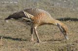 Duck, Plumed Whistling @ Mamukala Wetlands