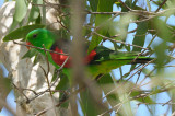Parrot, Red-winged (male) @ Mary River Park