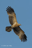 Kite, Whistling @ Mamukala Wetlands