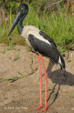 Stork, Black-necked (female) @ Yellow Water