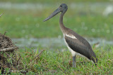 Stork, Black-necked (juvenile) @ Yellow Water