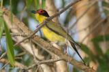 Figbird, Australian (male) @ Pine Creek Water Gardens