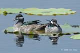 Goose, Green Pygmy @ Fogg Dam