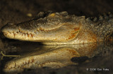 Saltwater Crocodile (female) @ Yellow Water, Australia