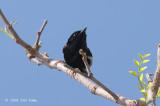 Fairy-wren, Red-backed (male) @ Copperfield Dam