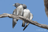 Woodswallow, White-breasted @ Copperfield Dam