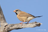 Finch, Long-tailed @ Copperfield Dam