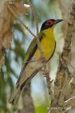 Figbird, Australian (male) @ Casuarina Coastal Reserve