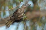 Figbird, Australian (female) @ Casuarina Coastal Reserve
