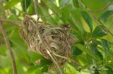 Oriole, Green @ Botanical Gardens