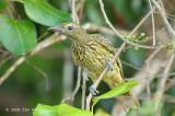 Oriole, Green (juvenile) @ Casuarina Coast Reserve