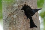 Drongo, Spangled @ Darwin Botanic Gardens