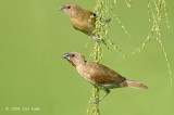 Munia, Scaly-breasted (adult & juv) @ Punggol
