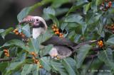 Hornbill, Luzon (male) @ Subic