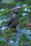 Hornbill, Luzon (female) @ Subic