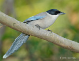 Magpie, Azure-winged @ Mai Po