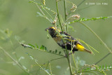 Bishop, Yellow-crowned (non-breeding) @ Changi