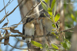 Flycatcher, Broad-billed (fledglings) @ Fogg Dam