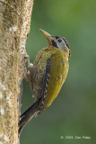 Woodpecker, Laced (female) @ Hindhede