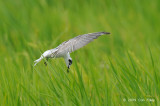 Tern, White-winged @ Sungei Balang