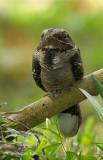 Nightjar, Large-tailed @ Bidadari