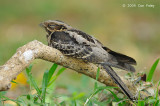 Nightjar, Large-tailed @ Bidadari