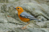 Thrush, Orange Headed @ Botanic Gardens