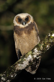 Owl, Brown Wood (juvenile) @ army camp