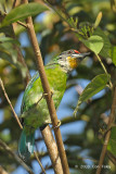 Barbet, Golden-throated @ Jelai Resort
