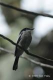 Flycatcher-Shrike, Bar-winged @ New Road