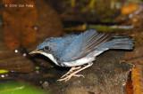 Robin, Siberian Blue (male) @ MacRitchie