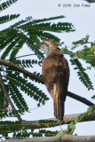 Cuckoo, Banded-Bay @ NTL2