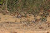 Nightjar, Large-tailed
