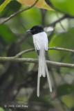 Flycatcher, Blyth's Paradise (white morph)