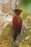 Woodpecker, Banded (female) @ SBG